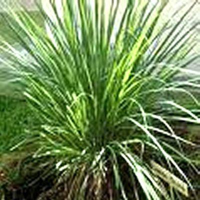 lemongrass essentiasl oil